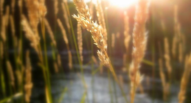 小河边的水草在夕阳余光的照射下的朦胧PPT背景图片